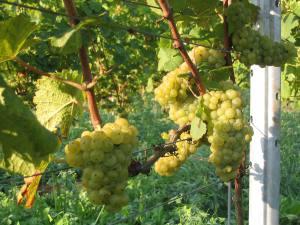wijngaard-4